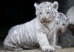 baby tiger zoo tokyo april 2013 1