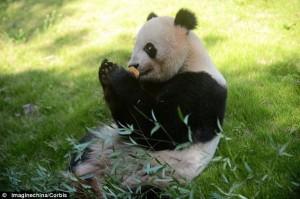 Panda - Ai Hin